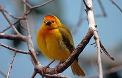 Cute Finch Stock Photos