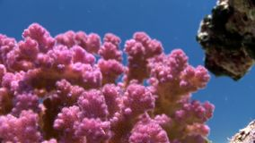 Cute fish in coral gentle violet purple color underwater in Red sea. Bright marine nature on background of beautiful lagoon stock footage