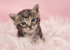Cute five weeks old tabby baby cat in pink feathers on a pink ba royalty free stock image