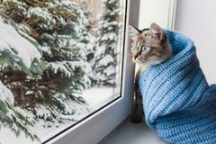 Cute fluffy cat with blue eyes sititng on a window sill. Cute flaffy cat with blue eyes covered in knitted blue scarf , sitting on a window sill and watching royalty free stock image