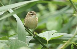 A cute fledgling Sedge Warbler Acrocephalus schoenobaenus perching on a reed in the reed bed. It is waiting for its parents to c Royalty Free Stock Photography