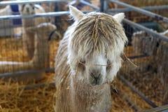 Cute, floppy haired llama Stock Photos