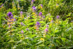 Cute flowers of cow-wheat Melampyrum nemorosum at the foot of a big tree. Picturesque peaceful nook away from the urban noise and hustle. Rich colors of nature stock photography
