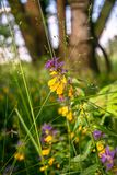 Cute flowers of cow-wheat Melampyrum nemorosum at the foot of a big tree. Picturesque peaceful nook away from the urban noise and hustle. Rich colors of nature stock photos