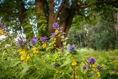 Cute flowers of cow-wheat Melampyrum nemorosum at the foot of a big tree. Picturesque peaceful nook away from the urban noise and hustle. Rich colors of nature royalty free stock photo