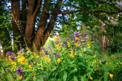 Cute flowers of cow-wheat Melampyrum nemorosum at the foot of a big tree. Picturesque peaceful nook away from the urban noise and hustle. Rich colors of nature stock images
