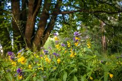 Cute flowers of cow-wheat Melampyrum nemorosum at the foot of a big tree. Picturesque peaceful nook away from the urban noise and hustle. Rich colors of nature royalty free stock photos