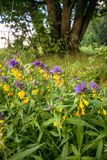Cute flowers of cow-wheat Melampyrum nemorosum at the foot of a big tree. Picturesque peaceful nook away from the urban noise and hustle. Rich colors of nature royalty free stock images
