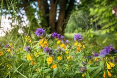 Cute flowers of cow-wheat Melampyrum nemorosum at the foot of a big tree. Picturesque peaceful nook away from the urban noise and hustle. Rich colors of nature royalty free stock image
