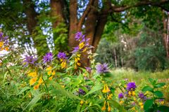 Cute flowers of cow-wheat Melampyrum nemorosum at the foot of a big tree. Picturesque peaceful nook away from the urban noise and hustle. Rich colors of nature royalty free stock photography