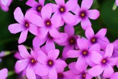 Pink sorrel. Cute flowers on the roadside `Pink sorrel royalty free stock photos