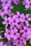 Pink sorrel. Cute flowers on the roadside `Pink sorrel Stock Image