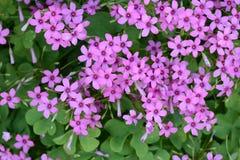 Pink sorrel. Cute flowers on the roadside `Pink sorrel royalty free stock photo