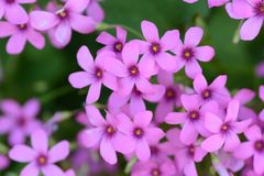 Pink sorrel. Cute flowers on the roadside `Pink sorrel Royalty Free Stock Image