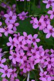 Pink sorrel. Cute flowers on the roadside `Pink sorrel royalty free stock photography