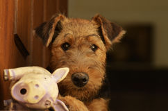 Cute fluffy Airedale Terrier puppy with dirty nose from mud Stock Photography