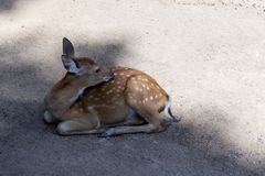 Cute fluffy bambi little deer lies on the ground in the shade escapes from the heat of a hot summer day stock image