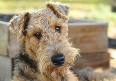 Big dog,head tilted on side,begging for treats. A close up portrait of a gorgeous purebred Airedale Terrier go with his head tilted to the side with a very soft Royalty Free Stock Photos