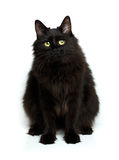 Cute Fluffy Black Cat Isolated On White Stock Image