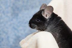 Cute fluffy black chinchilla on blue background royalty free stock photo