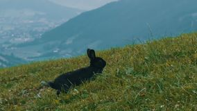 Cute fluffy black rabbit chews grass on background of the picturesque Austrian valley. Cute fluffy black rabbit chews grass on a background of the picturesque stock footage