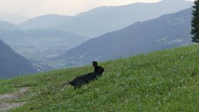 Cute fluffy black rabbit chews grass on background of the picturesque Austrian valley. Cute fluffy black rabbit chews grass on a background of the picturesque stock video footage