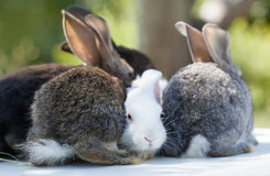 Cute fluffy brown rabbits macro view and shallow depth of field, selective focus. Stock Photography