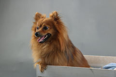 Cute fluffy brown small dog. Adorable little puppy dog with orange/brown fur inside a box, with studio lighting and backdrop Royalty Free Stock Image