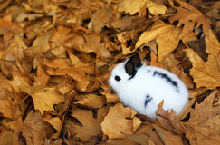 Cute fluffy bunny in autumn leaves Stock Images
