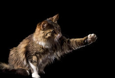 Cute fluffy cat on a black background Stock Photos