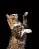 Cute fluffy cat on a black background Royalty Free Stock Photos