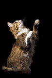 Cute fluffy cat on a black background catches smth Royalty Free Stock Images