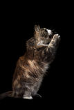 Cute fluffy cat on a black background eats Royalty Free Stock Images