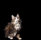 Cute fluffy cat on a black background with a gold chain on her neck Royalty Free Stock Photography