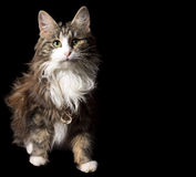 Cute fluffy cat on a black background with a gold chain on her neck Royalty Free Stock Photo