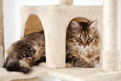 Cute fluffy cat Royalty Free Stock Photography