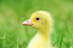 Cute fluffy  chick. Cute fluffy 7 days old  chick  close up Stock Photo