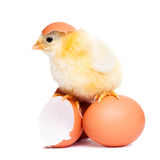 Cute fluffy chick with eggs Royalty Free Stock Photography