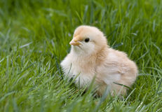 Cute fluffy chicken. In grass Royalty Free Stock Images