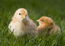 Cute fluffy chicken. S in grass Stock Image