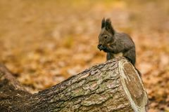 Cute fluffy dark brown colored squirrel stock photography