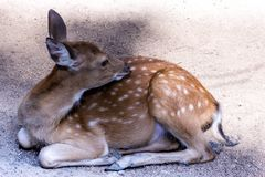 Cute fluffy deer bambi spotted white patches on brown wool lying on the ground close-up stock photos