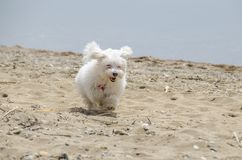 Cute fluffy dog on beach - Maltese puppy. Maltese dog breed Royalty Free Stock Images