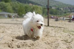 Cute fluffy dog on beach running - Maltese puppy. Cute fluffy dog on beach - Maltese puppy - Maltese dog breed Stock Images