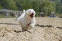 Cute fluffy dog on beach running - Maltese puppy. Cute fluffy dog on beach - Maltese puppy - Maltese dog breed Stock Photo
