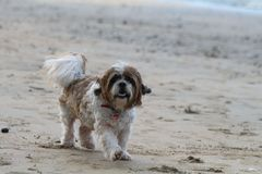 Cute fluffy dog running at the beach stock images