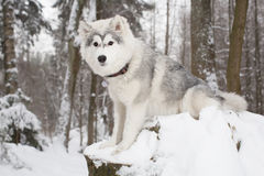 Cute Fluffy dog in winter forest. husky Stock Images