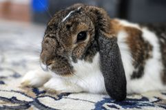 Cute fluffy domestic brown and white bunny pet royalty free stock images