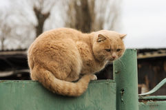 Cute fluffy ginger cat resting on a fence Stock Image