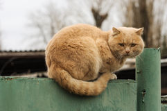 Cute fluffy ginger cat resting on a fence Stock Photography